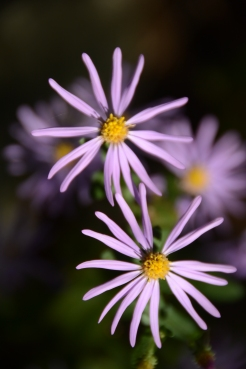 A pair of asters on a rocky outcrop.