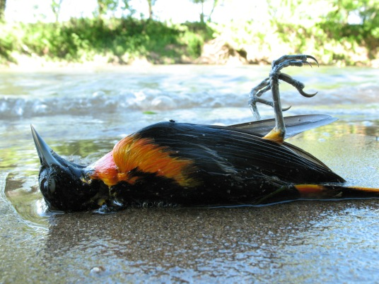 An oriole found its final resting place on a Potomac River sandbar.