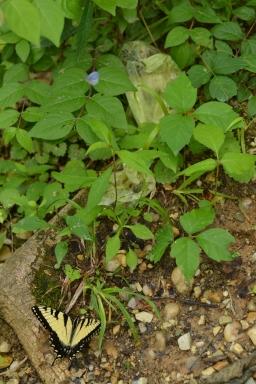Yellow swallowtail stalks a partially hidden bag.