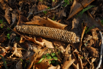 Whats a corncob doing miles from the nearest cornfield? A wandering band of Indians?